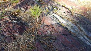 Pine tree growing in a crack in the layers of jasper at the top of Jasper Peak, Soudan, Minnesota.