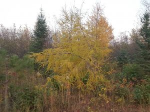 A Tamarack tree with its needles changing in autumn.